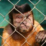 Macaco atrás das grades
